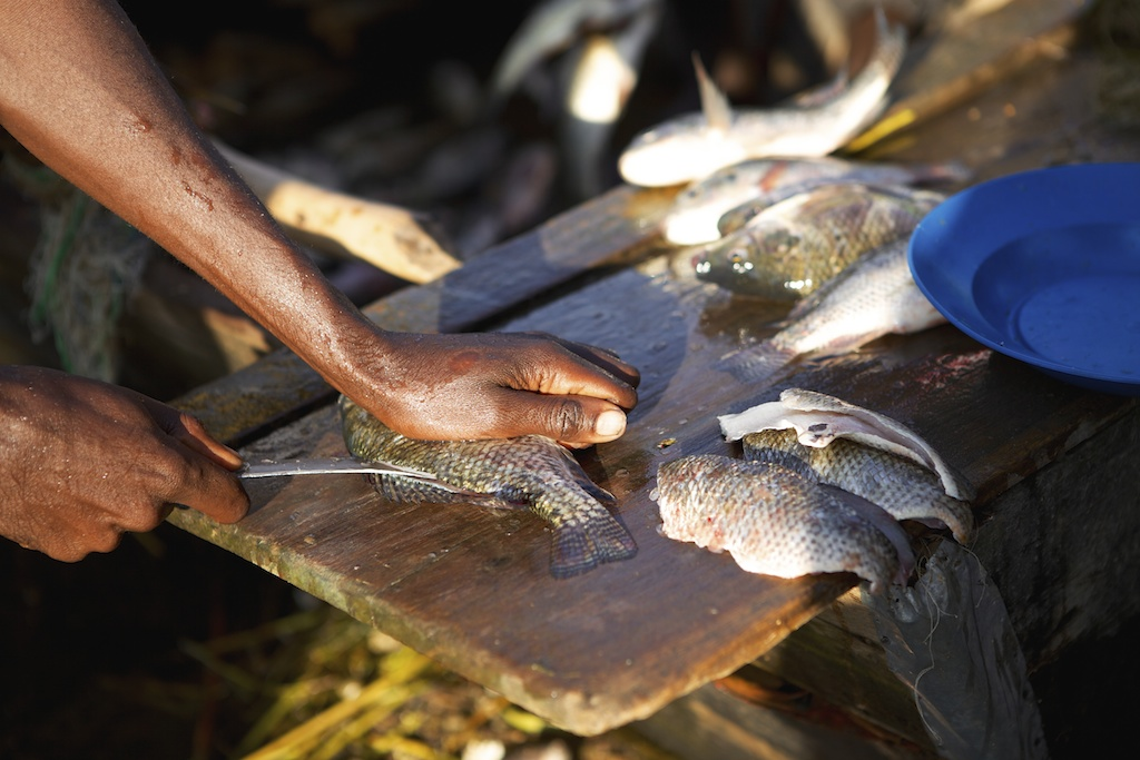 A fish being filleted on the back of a boat, Ethiopia