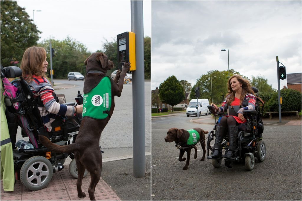 An assitance dog helping a lady to cross the road