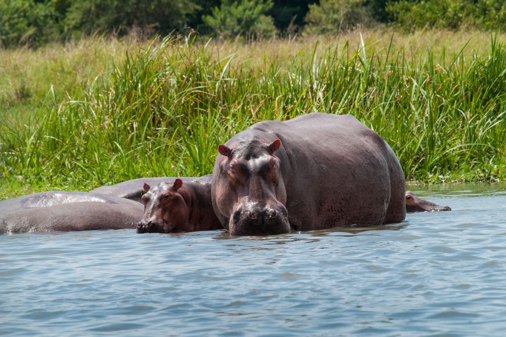 A female hippo and its baby in the river Nile, Uganda, Africa.