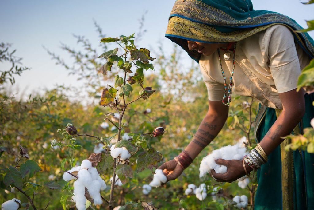 Harvesting organic cotton on a farm in Sendhwa, India.