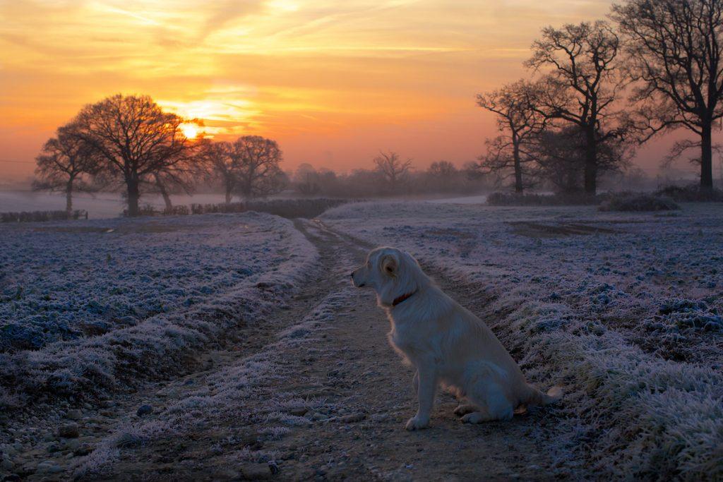 a golden retriever in a frosty field in winter at sunrise