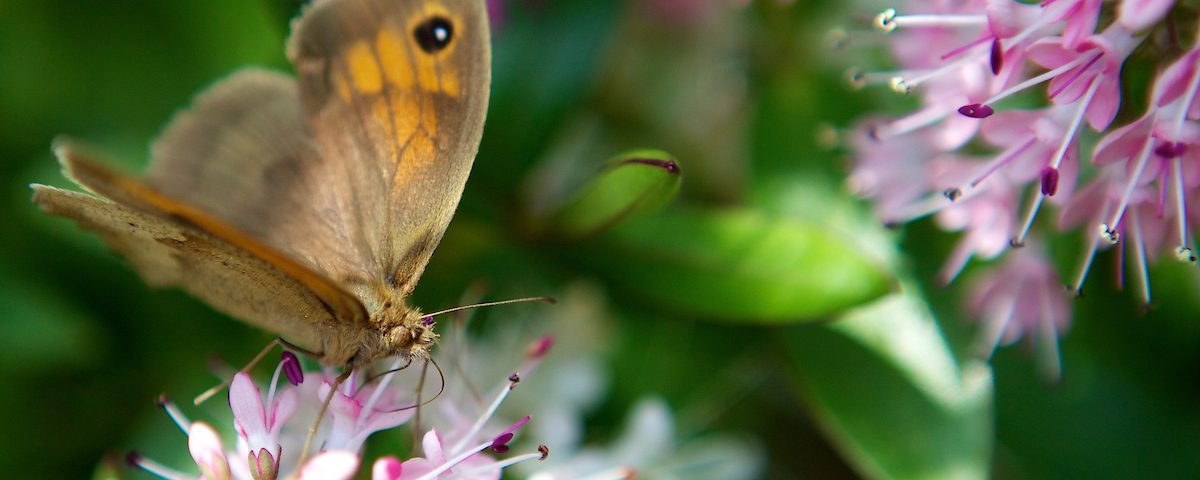 a butterfly feeding on a pink flower